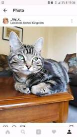 Beautiful affectionate Tabby