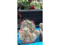 25 Cacti all same species but of varying shape, sizes and number in a pot. Good healthy plants
