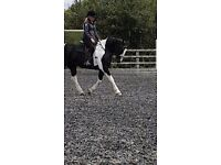 16h coloured gelding