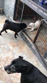 White kc pug puppy