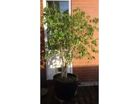 Ornamental Fig Tree