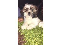 Shih tzu puppy 11 weeks old