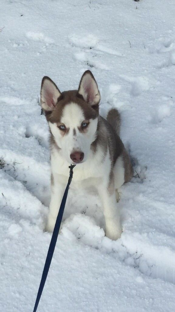 Back on due to time wasters Husky bitch pup | in Newcastle, Tyne and Wear |  Gumtree
