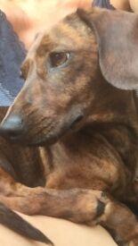 KC Reg Minature Smooth Dachshund Puppies for Sale