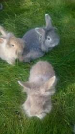 Gorgeous Fluffy Lionhead Bunny Rabbits