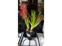 Bulb house plants / outdoor plants - nice selection, healthy!