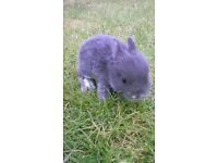 dwarf rabbit otter blues bunnies Coventry