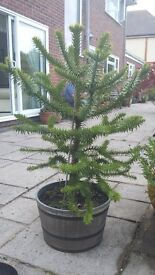 Monkey puzzle tree. Approx 4 foot tall in pot