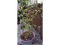 Bamboo in a pot 6 ft tall. Collect NW2.