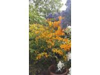 Orange azeala