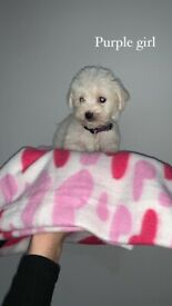 Cavapoochon puppies 3 left x