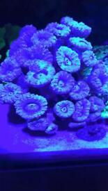 Blue candy cane coral for marine fish aquarium