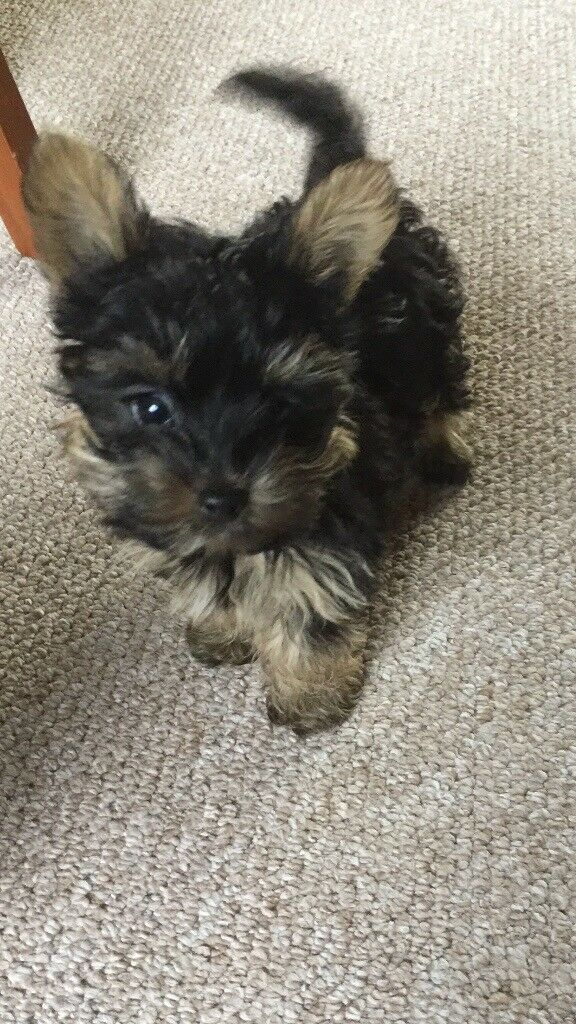 Tiny teacup Yorkshire terrier puppy