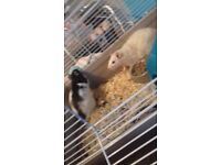 Two male rats for £35 very frienly comes with cage food and bedding