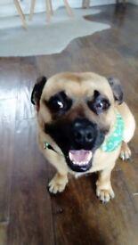 Smart Pug-Jack Russell (Jug) dog