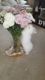 Cute white double lionhead bunny for sale