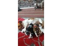 jack russell pups for sale 4 boys 2 girls