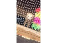 Female ferret 3 month old
