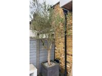 Magnificent Huge Thick stemmed Olive Tree in Pot