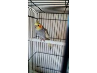Baby cockatiels for sale