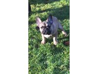 Beautiful female French bulldog fawn