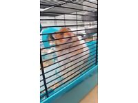 Syrian Hamster with Cage, Bedding and Food!