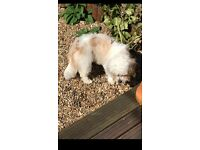 Beautiful 10 Month Old Cavachon For Sale