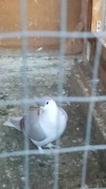 Afghan pigeons