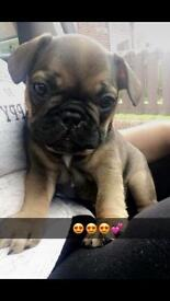 REDUCED French bull dogs