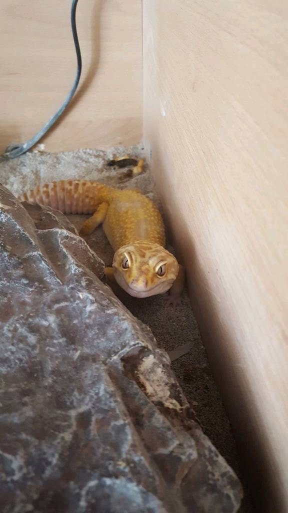 Male gecko 6yo with vivarium