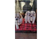Miniture poodle puppys