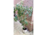Large mature Ficus Bejamina house plant with pot
