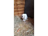 2 lop rabbits for sale