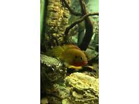 Several Junior Firemouth Cichlids tropical fish
