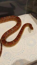 Carolina Corn Snake