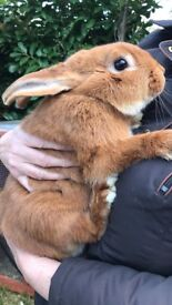 Male ginger and white rabbit