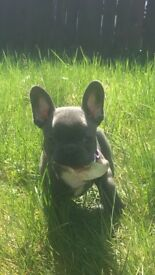 KC Reg Blue French bulldog puppy for sale £2000