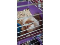 2 male guinea pigs approximately 10 months old.