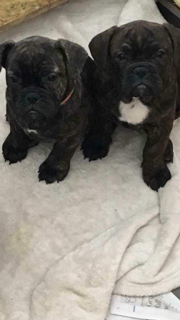 Old Tyme Bulldog Puppies Stunning In Tiptree Essex Gumtree