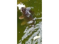 "Koi carp 8"" to over 12"" plus other carp and pump"