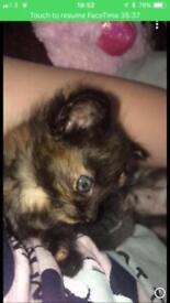 Black and ginger girl kitten