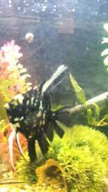 2 pleco for sale and a large angel fish