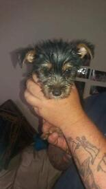Puppy's Yorkshire terrier and jackrusell