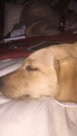 Adorable golden lab puppy for sale
