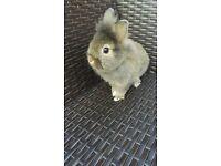 ready next wednesday dwarf mix lionhead male rabbit