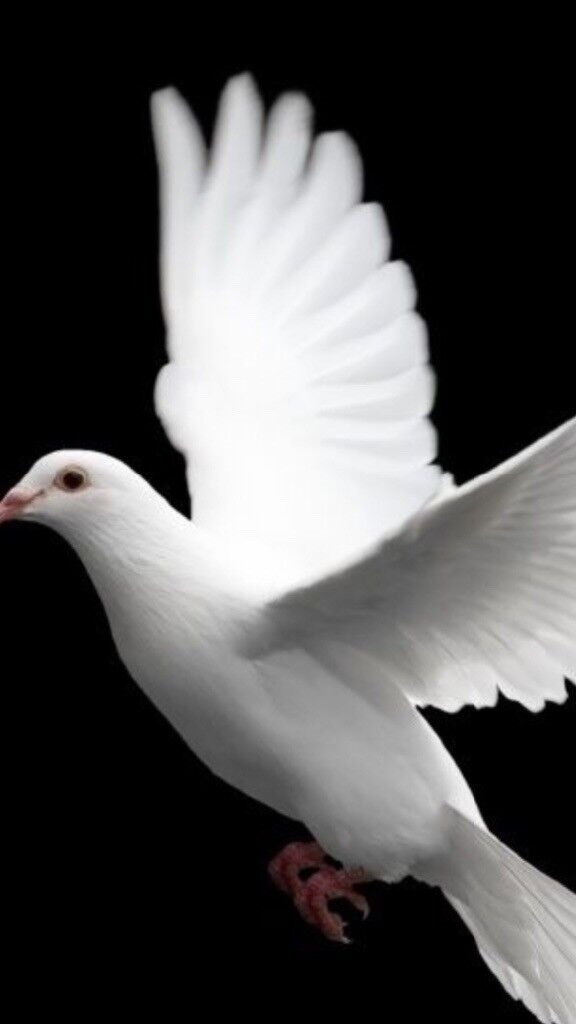 White homing doves all wormed 6 for sale £13 each