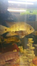 Persai cichlid south american fish