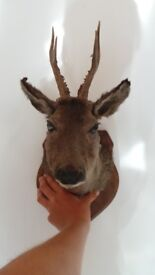 Vtg French Taxidermy Stuffed Roe Deer Head - Hunting Trophy Mount
