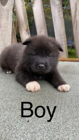 VERY RARE BLACK AMERICAN AKITA PUPPIES