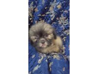 Shih tzu   Dogs & Puppies for Sale - Gumtree